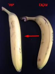 בננה עקום ישר